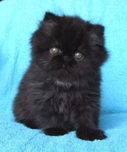 Black persian kitten...oh hi there! Cate, she is for you! <3: Kitty Cats, Face, Animals, Black Cats, Persian Kittens, Persian Cats, Baby, Dog, Black Persian