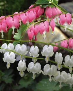 Bleeding Heart. i have the pink bleeding heart. it was planted by my great grandma!!!! it never fails to return year after year. its a sweet beauty :) Renee: Flowers Gardens Ponds, Flower Bleeding Heart, Flowers Bleeding, Backyard Flowers Garden Plants, B