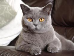 British Shorthair  I would love to have a cat like this someday!!: Russian Blue, Cats ️, Animal Kingdom, Dogs Cats, Kittens Cats, Blue Kitties