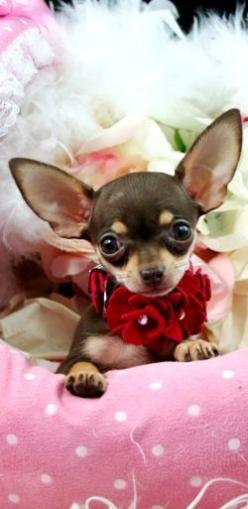 Check out my ears, there is no way that you can talk about me..: Teacup Chihuahuas, Dogs, Sweet, Pretty Girl, Baby, Chichi, Animal