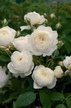 Claire Austin -Cupped buds of pale lemon, gradually open to form large, creamy white flowers of a typical English Musk delicacy and strong fragrance.  A strong and particularly healthy variety that produces elegant, arching canes with medium green foliage