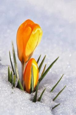 Crocus In Snow.  Late Winter? or Early Spring? Confused Crocus's   =o): Planting Flowers Gardening, Winter, Seasons, Flowers Orange Yellow, Beauty, Flowers, Flowers In The Snow, Yellow Crocus