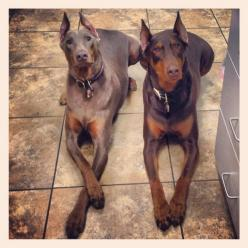 Dobermans-So Sweet.: ️Dobermans ️, Favourite Dobermans, Blue Doberman Pinscher, Majestic Dobermans, Doberman 3 3 3, Doberman Dogs, Dobermans Awesome, Doberman Companions, Amazing Dobermans