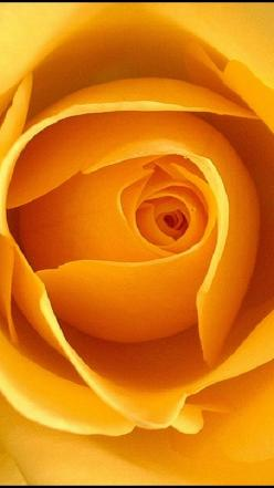 Eye of a Rose -  a yellow rose...Will eternally remind me of my mother...Lord, how I miss her......: Rose Flowers, Golden Rose, Color, Golden Eye, Beautiful Flowers, Orange Rose, Yellow Roses, Beautiful Rose, Eyes
