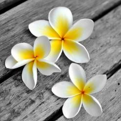 Frangipani - no matter where or when...it's the beautiful scent of travelling to different places. Love it.: Beautiful Flower, Frangipani Plumeria, Favourite Flowers, Flowers Photos, Fav Flower, Flower Power, Frangipani Flowers, Favorite Flower