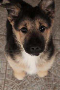 German Shepard puppy! Hopefully he/she lives in a cute eye resilient family, because if he/she doesn't it is doomed to fatness: Germanshepherd, German Shepards, Animals, Dogs, Puppys, German Shepherds, German Shepherd Puppies, Eye