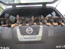 German Shepherd puppies Check more at http://hrenoten.com: German Shepherd Puppy, Animals, German Shepards, Pet, Puppys, German Shepherds, German Shepherd Puppies, Shepherd Dogs, Gsd