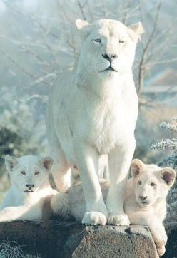 Gorgeous white Lioness and her cubs.: White Lions, Big Cats, Animals, White Liones, Beautiful, Bigcats, Wild Cats