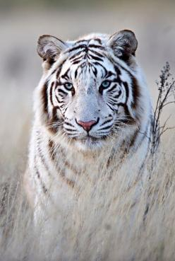 In order for a White Tiger to be produced, both of it's parents must carry the gene.: White Tigers, Big Cats, Animals, Nature, Bigcats, Beautiful, Favorite Animal, Whitetigers, Wild Cats