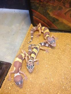 Leopard Geckos (Babies-Adults): Geckos Babies Adults, Animal Kingdom, Liam S Crafts, Reptiles Amphibians, Leopard Geckos