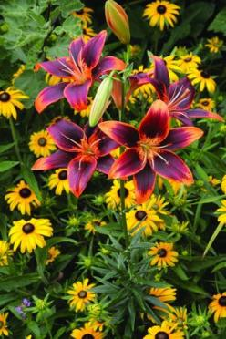 ♥ Lilium Forever Susan/ATTRACTS: Ruby Throated Hummingbirds.: Color, Flowers Plants, Beautiful Flowers, Gardening, Pretty Flowers, Lilium Forever