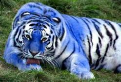 *MALTESE TIGER ~ blue maltese tigers The Maltese tiger, or blue tiger, is a sub species coloration morph of a tiger, reported mostly in the Fujian Province of China....*: Big Cats, Animals, Beautiful Blue, Bigcats, Maltese Tigers, Wild Cats, Coloration Mo