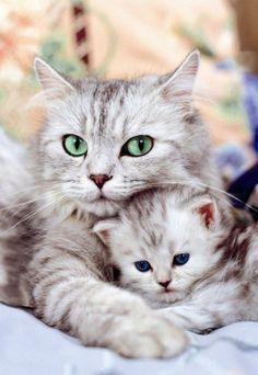 mom and baby: Cats, Animals, Google, Beautiful, Pets, Kittens, Baby, Kitty, Eye