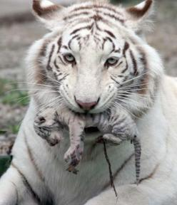 Mother and tiger cub...sweet.: White Tigers, Big Cats, Animals, Mother, Bigcats, Whitetigers, Baby, Newborn