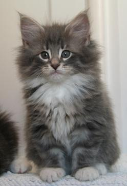 Norwegian Forest Cat- never heard of it, but this thing is cuuuute: Forests, Kitty Cats, Norwegian Cats, Maine Coonnorwegian, Cute Cats Kitty, Norwegian Forest Cats, Forest Cat Norwegian, Coonnorwegian Forest, Kittens Cats Oh