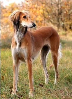 Of all the sighthounds, I like the Saluki the best.: Art Saluki, Dog Names, Baby Animals, Dog Chevy, Beautiful Saluki, Dog Art, Saluki Dogs, Dog Breeds
