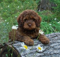 Ok, this is actually a cute breed of labradoodle so maybe when the baby is a year old we can try a pet again :): Doggie, Labradoodle Dogs, Labradoodle Puppies, Pet, Australian Labradoodles, Chocolate Labradoodle, Animal