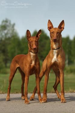 Pharaoh Hounds: This breed can trace its origin in purity back to the ancient egyptians. <3: Pharaoh Hounds, Hound Dog, Deviantart, Pharoah Hounds, Pharaoh Dog, Queen, Pet, Dog Breeds, Animal
