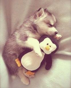 Pinterest @natalijatomazin: Animals, Puppies, Dogs, So Cute, Pet, Puppys, Husky, Baby