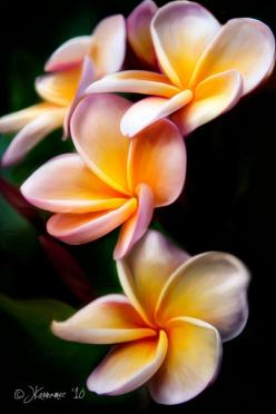 PLUMERIA/HINDU MEANING: In Hindu culture, plumeria flowers represent loyalty, and young brides wear plumerias in their hair on their wedding day to show their loyalty to their new husbands.: Cherryblossoms Plumeria, Fragrance, Flowers Gardens Tips, Cultur