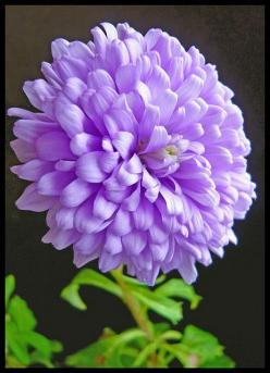 Purple Dahlia: Dahlia Flowers, Purple Dahlia, Purple Flowers, Dahlias, Beautiful Flowers, Bloom, Garden, Photo