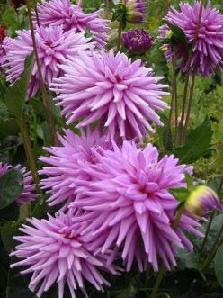 Purple dahlias - Mom, I don't think you have this one! @Freida Garland French @Angela Gray French: Purple Dahlias, Gardens Ideas, Garden Ideas, Gardening, Beautiful Flowers, Favorite Flower
