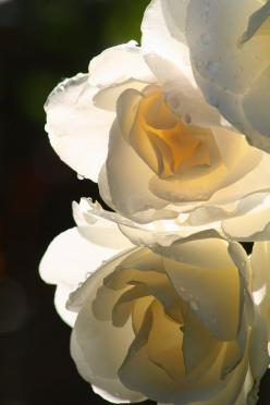 rose: White Flower, White Roses, Art, Beautiful Flowers, Bloom, Photo, Garden, Flower