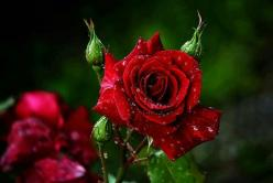 Roses: Photos, Picture, Beautiful Flowers, Red Roses, Gardens, Flowers, Nature Garden Plants Flowers