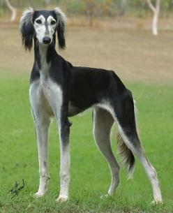 Saluki--->Is this not one of the prettiest dogs you have ever seen?! I want one so baddddd!!!!!!: Canine, Dogs Salukis, Color, Baby