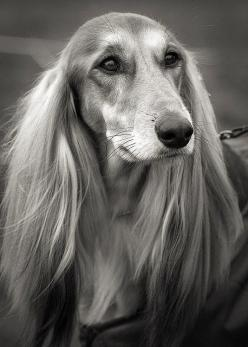 Saluki. I really wanted one of these when I was a kid. Now I know to never get a dog that needs daily brushing. Unless I want the dog to grow dreads.: Doggie, Dogs Sighthounds, Canine, Animals Dogs Hounds, Afghan Hound, Dogs Saluki, Pet, Saluki Dogs, Frie