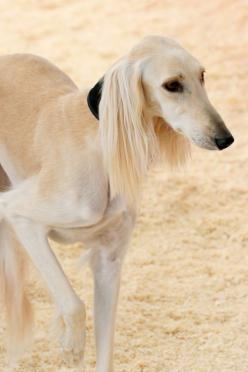 Saluki. I want one some day!  (But we'll have to see how Pup would feel about that.): Adorable Dogs, Adorable Animals, Cute Pets, Babyanimals2821 Blogspot, Saluki Dogs, Big Dogs, Dog Breeds