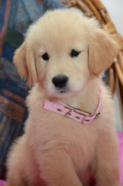 Seriously adorable!: Animals, Cute Puppies, Dogs, Golden Retrievers, Pet, Puppys, Golden Retriever Puppies