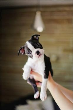 So cute!!!   You can't look at this and not smile!!!: Animals, Dogs, Pet, Baby Animal, Puppy, Boston Terriers, Baby Boston, Adorable Animal