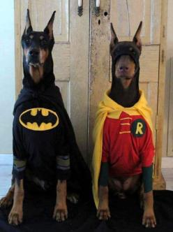 So flippin cute!!! I need another hound so i can dress them up!!! Doberman Dogs Dressed In Batman And Robin Costumes: Animals, Dogs, Pet, Funny, Costume, Robins, Batman Robin, Superhero