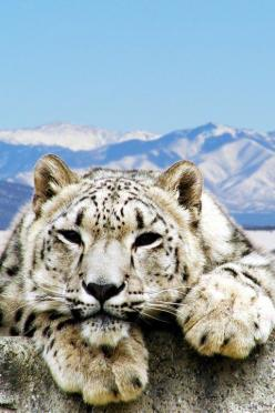 So sad this gorgeous animal is critically endangered.: Wild Animals Big, Big Cats, Adorable Animals, Nature, Snow Leopards, Tigers Leopards, Wild Cats, Beautiful Pictures, Animals Wildlife