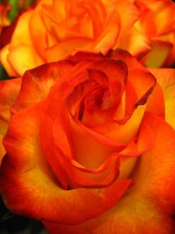 Sunset roses-Look at that bright & vibrant coloring.: Flowers Gardens, Orange Roses, Sunset Roses, Garden Flowers, Beautiful Flowers, Color Orange, Things Orange