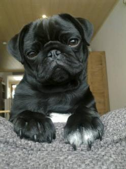 Super cute black Pug: Black Pugs Puppies, Black Pug Puppy, Pugs Dogs, Baby Face, Cute Pugs, Black And White Pugs, Eye, Black Pug Puppies, Animal