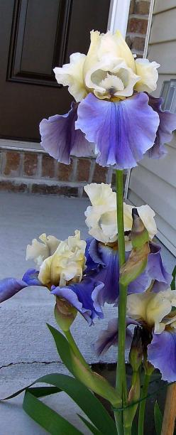 """Tall Iris, 'Edith Wolford' is a herbaceous perennial that grows up to 48"""" tall. The beautiful yellow and blue flowers bloom mid spring. The plant is critter resistant and drought tolerant. Grows in sun to part shade. It is naturalizing and is"""