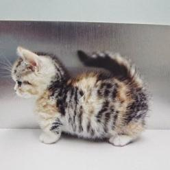 This could be your purrfect mach! Just type a name in the comments and if l think your a suitable owner l will give her to you do not pin unless l say you can adopt: Cats ️ ️ ️ ️, Munchkin Kitten, Pets, Catz Rule, Box, Animals Babies Furry, Animal Cat, Ca