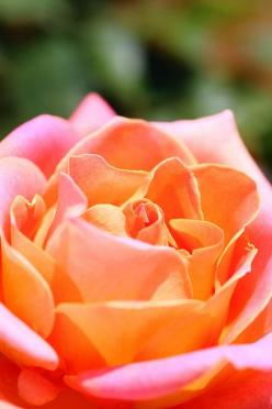 This orange and pink.......I'm beginning to think these may be my colors..........just maybe: Colorfulroseslou Hana, Colorfulroses117 Flappyhouse, Beautiful Roses, Glorious Roses, Pink Rose, Photo, Colorful Roses