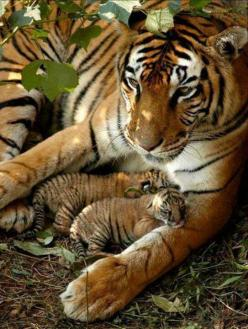 Tiger with cubs: Animals, Big Cats, Mother, Bigcats, Beautiful, Tigers, Wild Cats, Baby