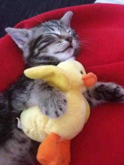 Too. Cute. Looks like someone made a new best friend!: Cats, Animals, Sweet, Adorable Kittens, Pets, Duckie, Kitty, Friend, Cat Lady