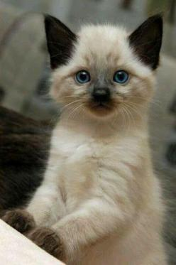 Top 10 Friendliest Cat Breeds: Cats, Animals, Kitty Cat, Siamese Kittens, Pet, Blue Eye, Siamese Cat, Baby