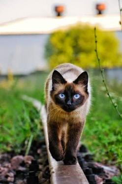 Top 10 Friendliest Cat Breeds: Dear Cats, Siamese Cats, Siameses Cats, Cats Breeds Siamese, Cats Siamese, Cat Breeds