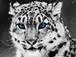 Unfortunately, there are more and more endangered animals in the world. Among all, these are perhaps the most beautiful endangered animals.The snow leopard (Uncia uncia or Panthera uncia) is a moderately large cat native to the mountain ranges of Central