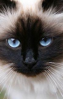 We had a stunning and vocal Siamese named Taajiii 1981-97... Gorgeous, haughty & highly intelligent. Definitely regal.: Kitty Cat, Animals, Beautiful Cats, Pet, Kitty Kitty, Blue Eyes, Siamese Cat, Burmese Cats