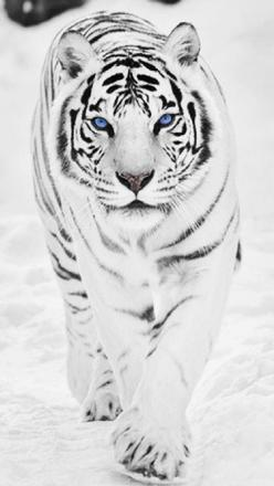 White Tiger: Big Cat, Tigre, Beautiful Tigers, Cool Tigers, Snow Tiger, Blue Eyes Tiger, Blue Eyes Animals, Blue Tigers