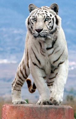 White Tiger: White Tigers, Animals, Big Cats, Beautiful Animal, Tigre, Bigcats, Favorite Animal, Whitetigers, Wild Cats
