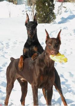Who us?...did what? #Doberman ... Free Report: 90 Dog Training Tips http://tipsfordogs.info/...: ️Dobermans ️, Friends Doberman, Doberman I, Doberman Pinscher, Awesome Dobermans, Doberman Chic, Dobermans Dobermans, Dobermans 3, Doberman Free