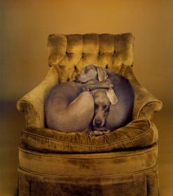 William Wegman, Nest, 1989 This makes my heart melt. It must be a weimaraner trait since mine has to cuddle/spoon with our other dog just like the puppy is in this pic.: Doggie, Chair, Animals, Dogs, William Wegman, Pets, Friend